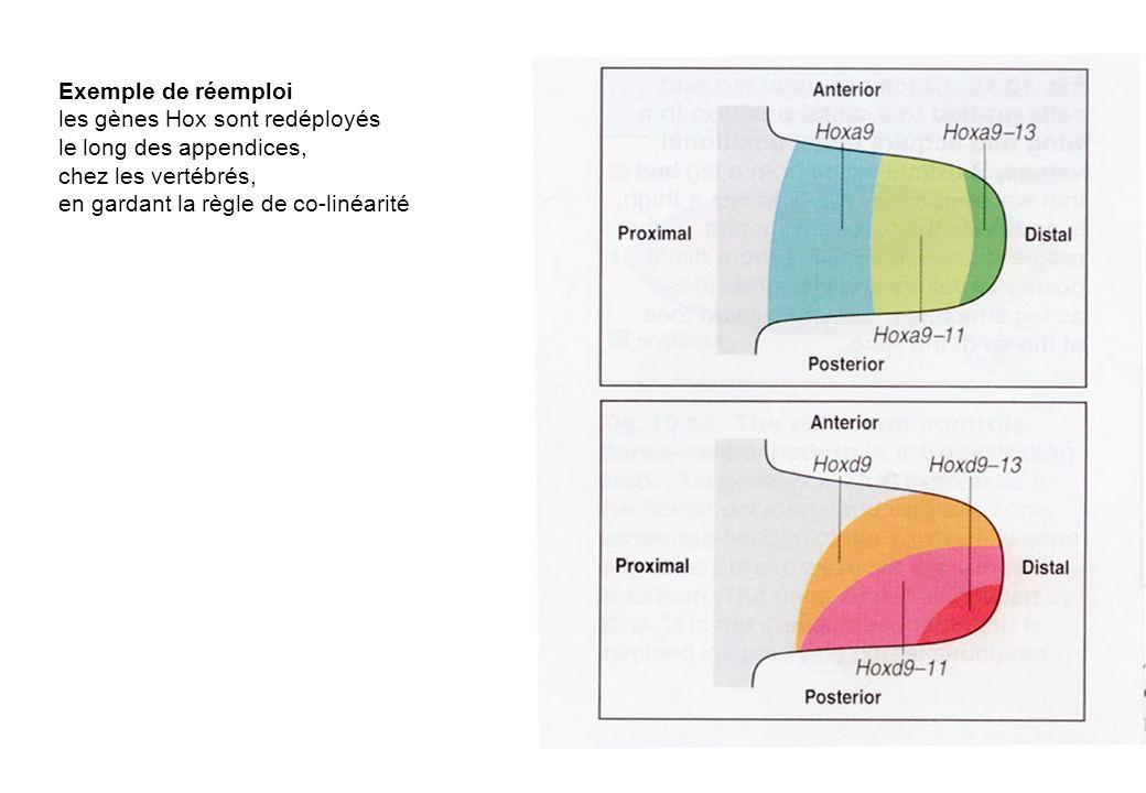 Exemple de réemploi les gènes Hox sont redéployés.