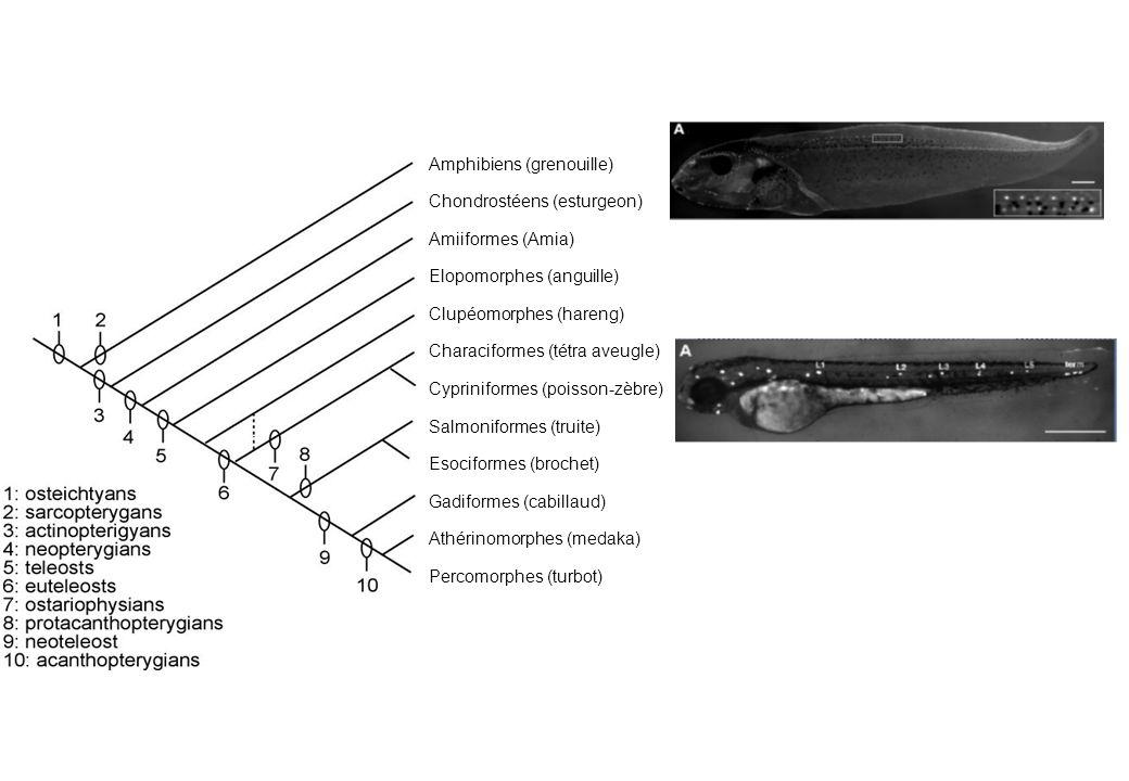 Amphibiens (grenouille)
