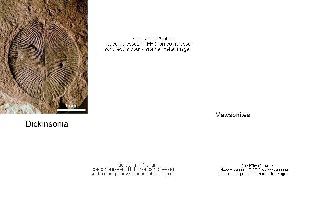 Mawsonites Dickinsonia