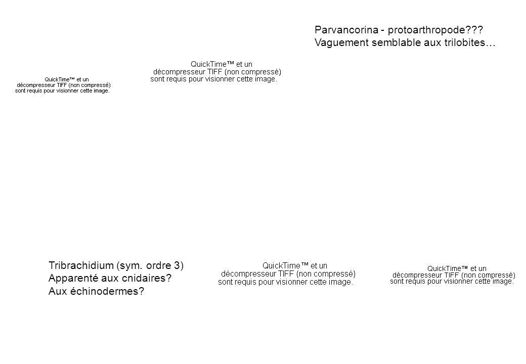 Parvancorina - protoarthropode