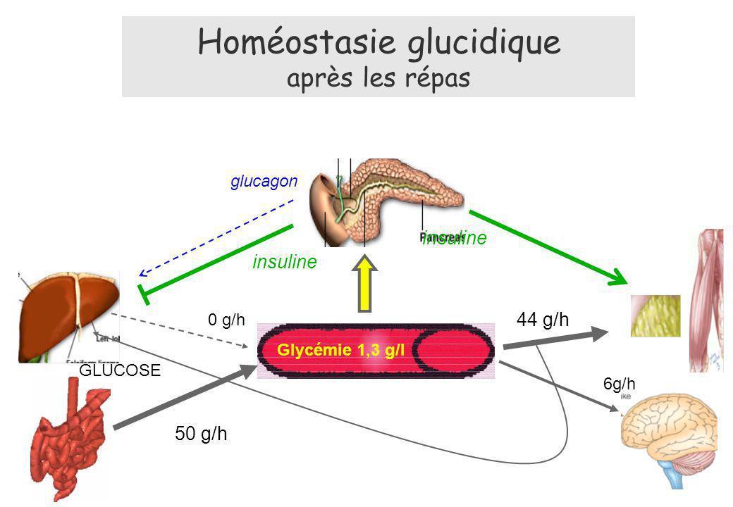 Homéostasie glucidique après les répas