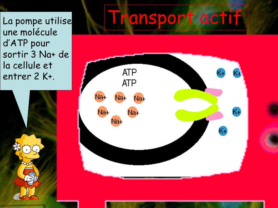 Transport actif La pompe utilise une molécule d'ATP pour sortir 3 Na+ de la cellule et entrer 2 K+.