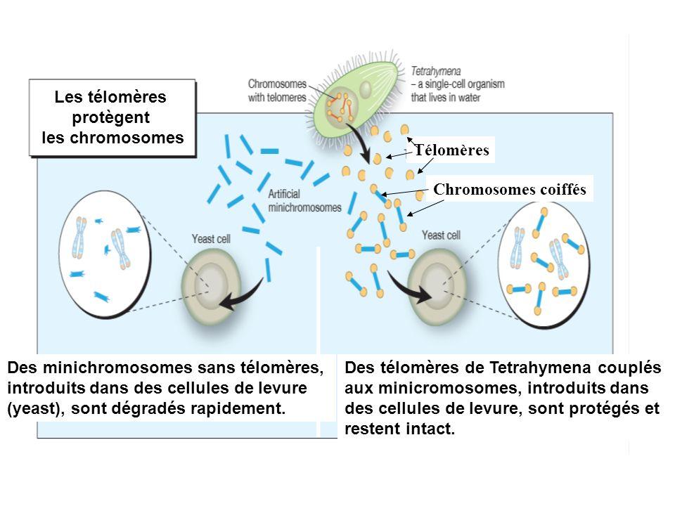 Les télomères protègent. les chromosomes. Des minichromosomes sans télomères, introduits dans des cellules de levure.
