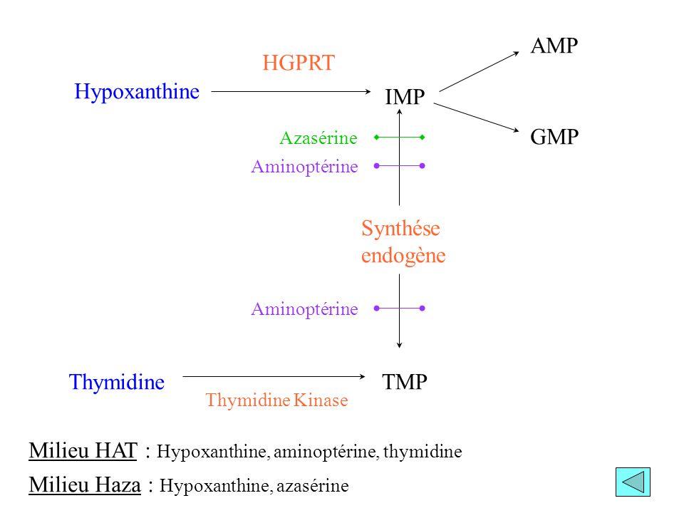 Milieu HAT : Hypoxanthine, aminoptérine, thymidine