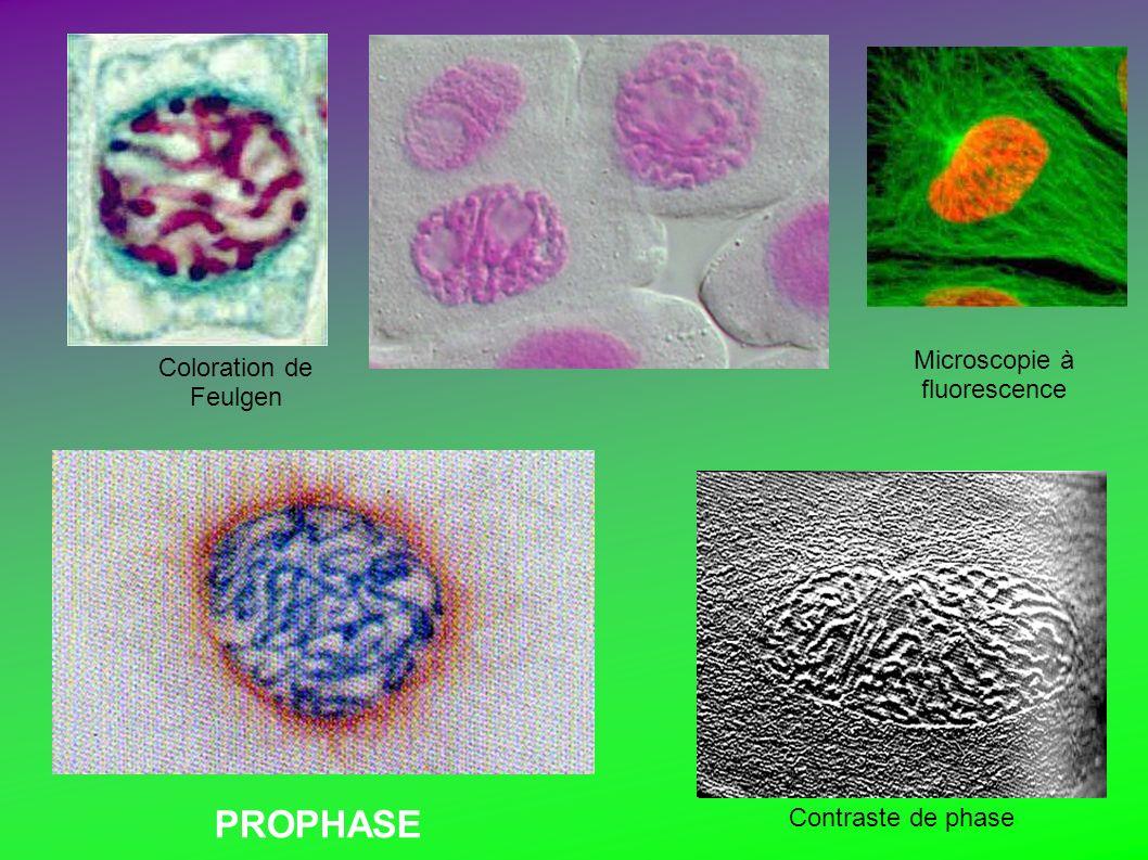 Microscopie à fluorescence