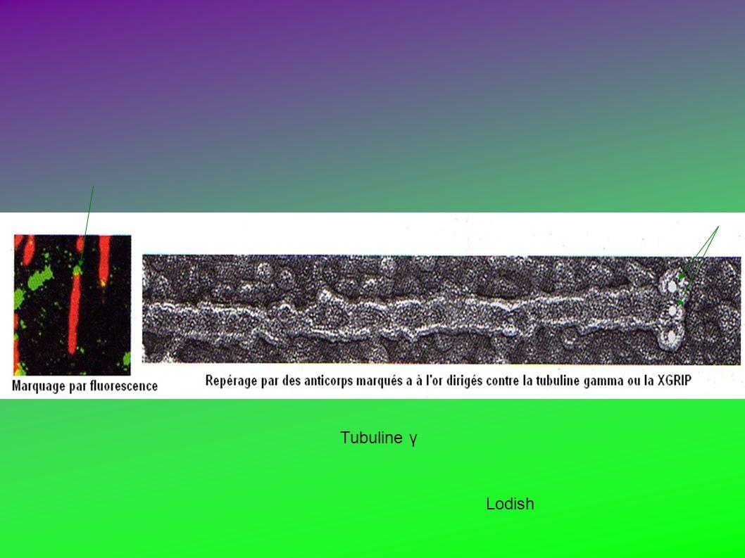 Tubuline γ Lodish