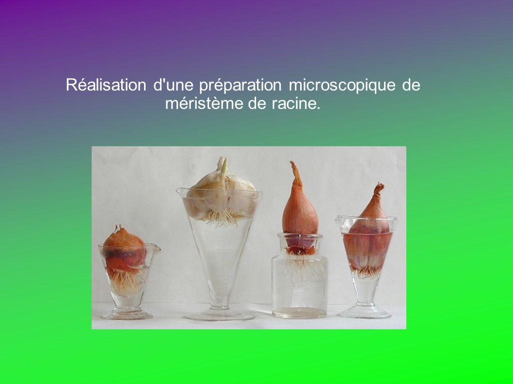 Réalisation d une préparation microscopique de méristème de racine.