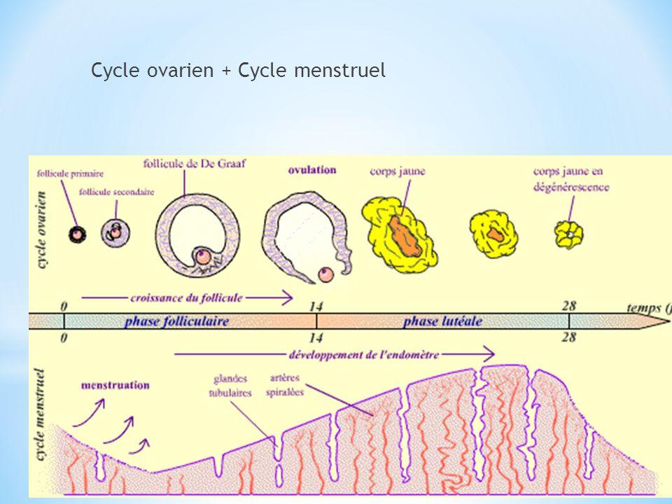 Cycle génital de la femme