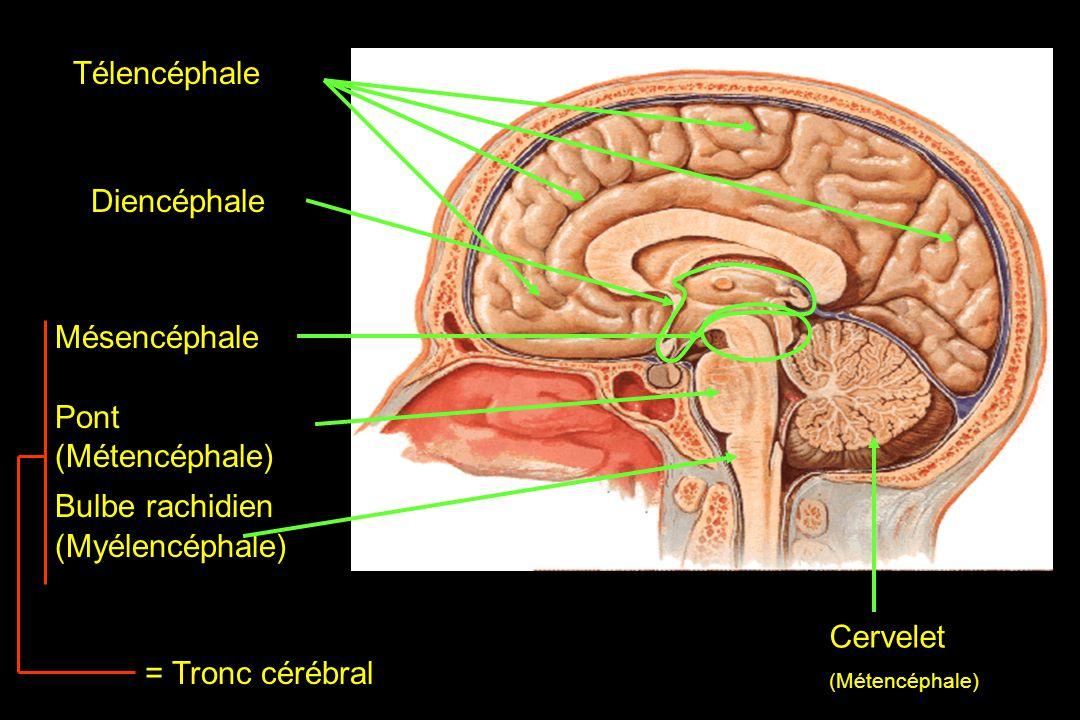Télencéphale Diencéphale Mésencéphale Pont (Métencéphale)