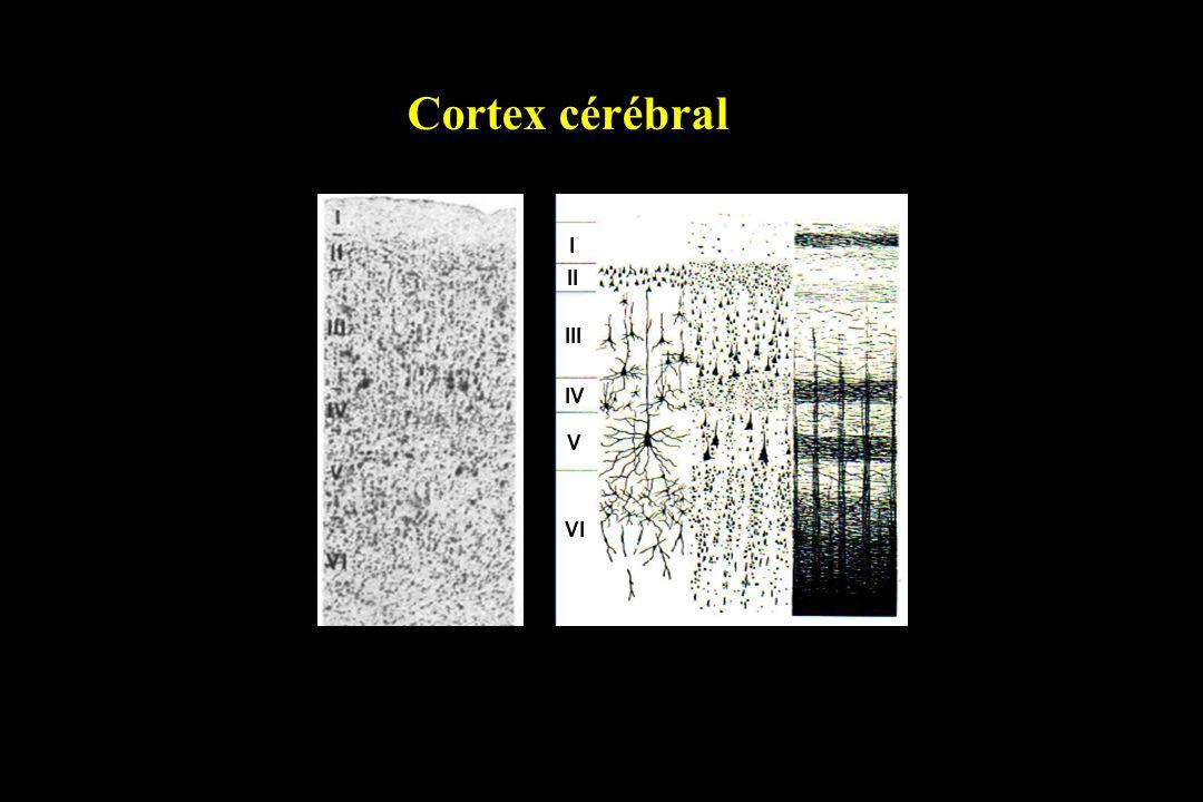Cortex cérébral I II III IV V VI