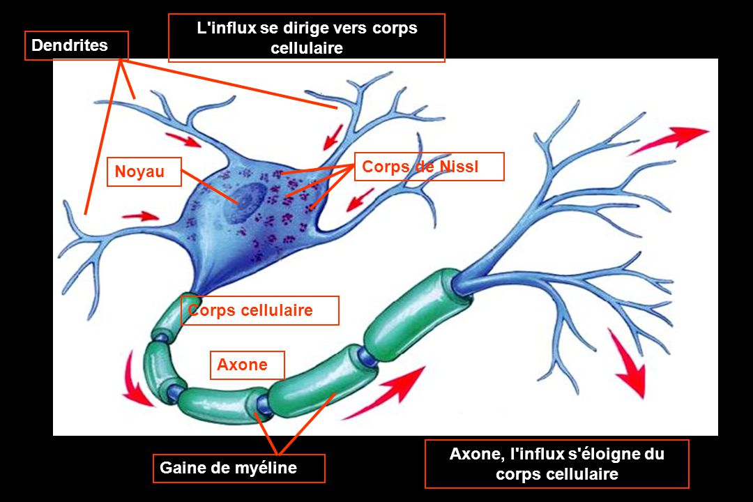 L influx se dirige vers corps cellulaire