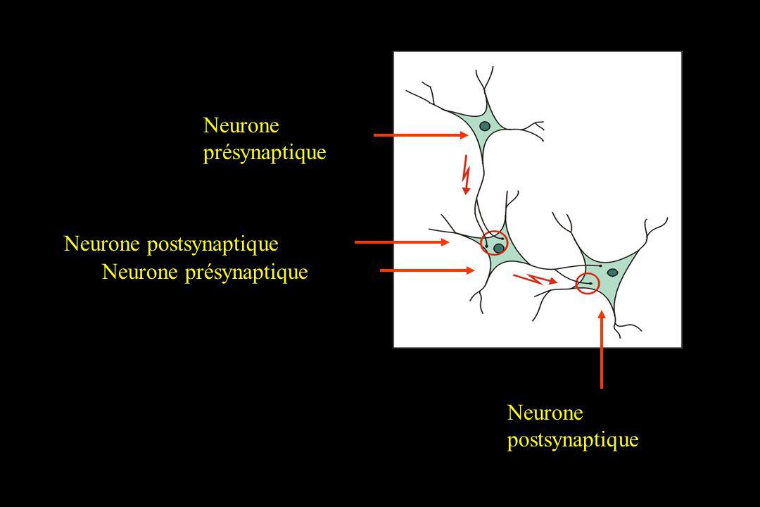 Neurone présynaptique