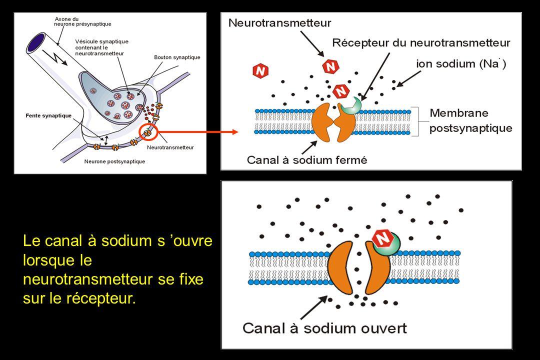 Le canal à sodium s 'ouvre lorsque le neurotransmetteur se fixe sur le récepteur.