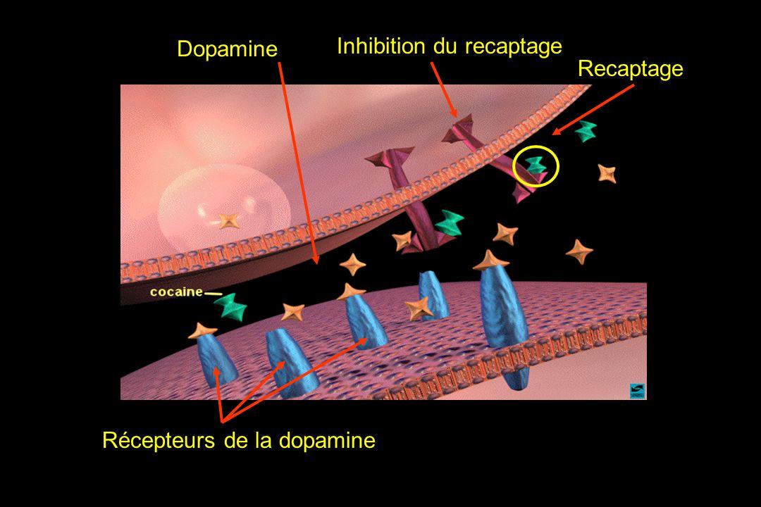 Dopamine Inhibition du recaptage Recaptage Récepteurs de la dopamine