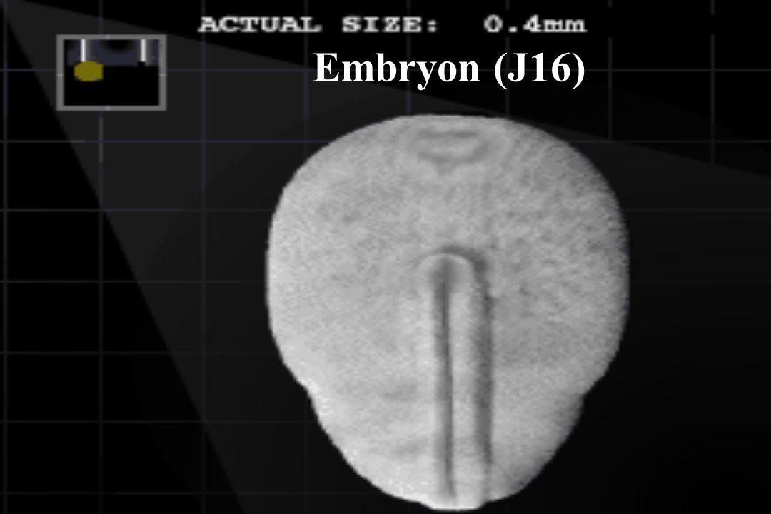 Embryon (J16)