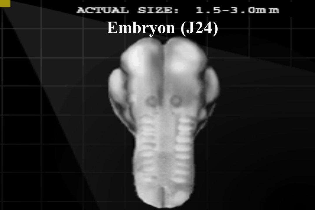 Embryon (J24)