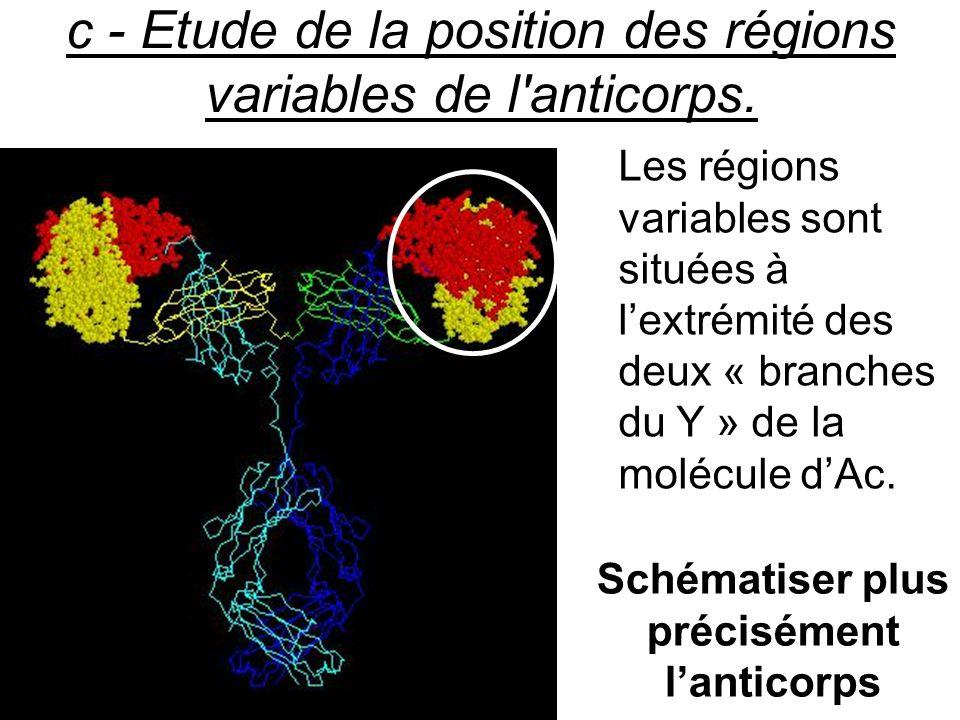 c - Etude de la position des régions variables de l anticorps.