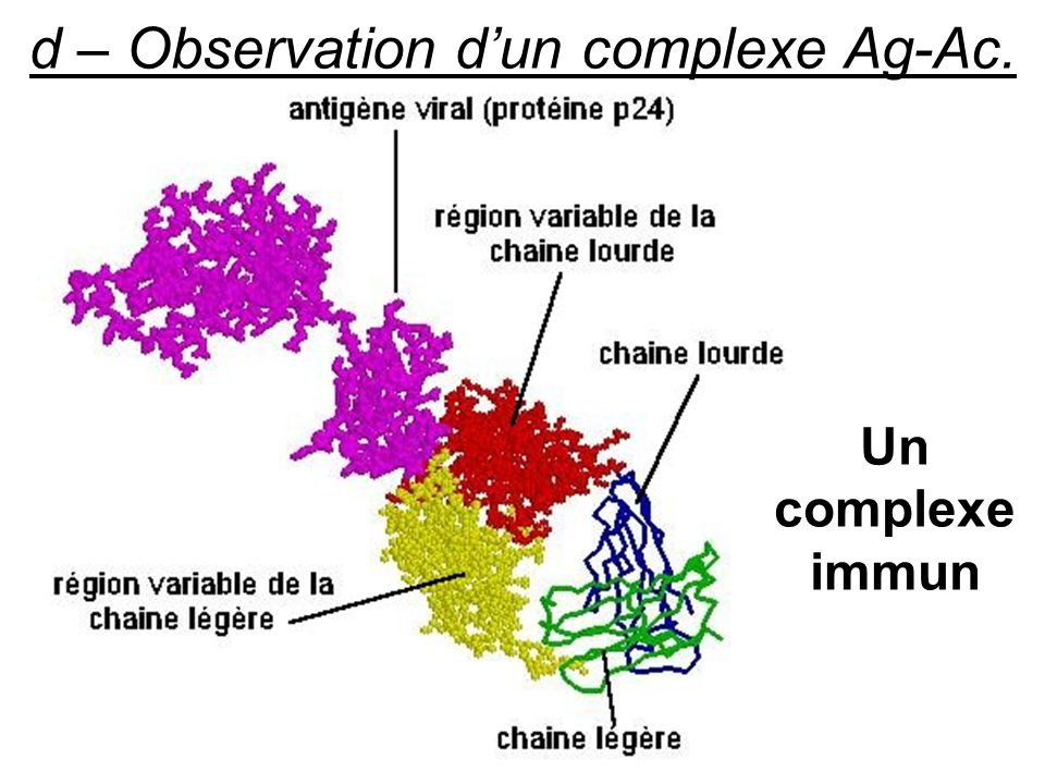 d – Observation d'un complexe Ag-Ac.