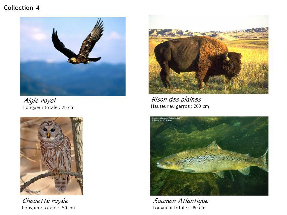 Collection 4 Bison des plaines Aigle royal Chouette rayée