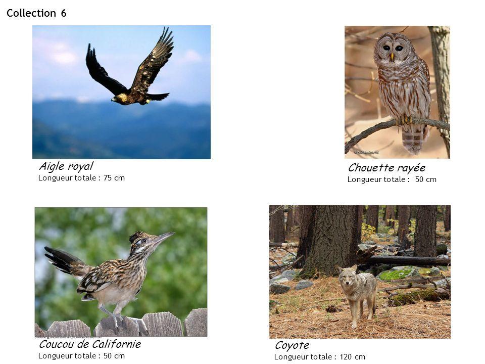 Collection 6 Aigle royal Chouette rayée Coucou de Californie Coyote