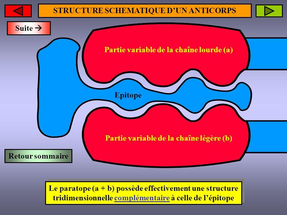 STRUCTURE SCHEMATIQUE D'UN ANTICORPS