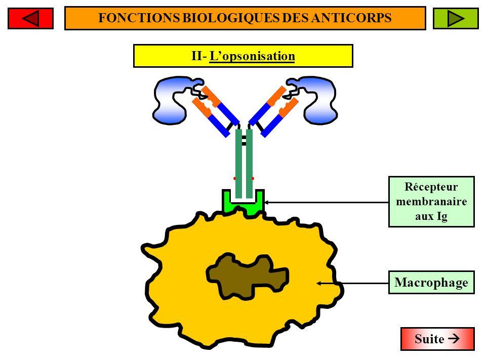 FONCTIONS BIOLOGIQUES DES ANTICORPS Récepteur membranaire aux Ig