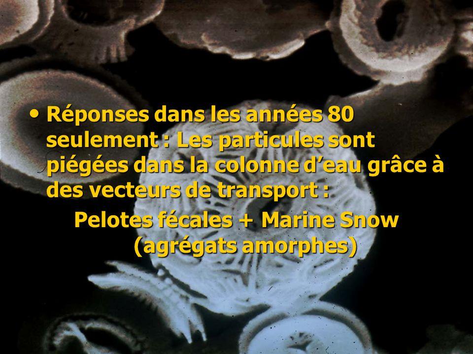 Pelotes fécales + Marine Snow (agrégats amorphes)