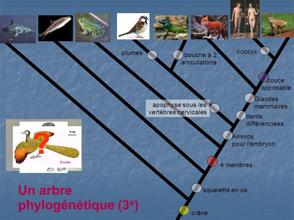 Un arbre phylogénétique (3e) coccyx plumes
