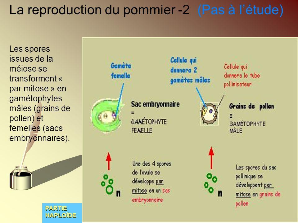 La reproduction du pommier -2 (Pas à l'étude)