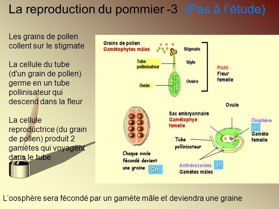 La reproduction du pommier -3 (Pas à l'étude)