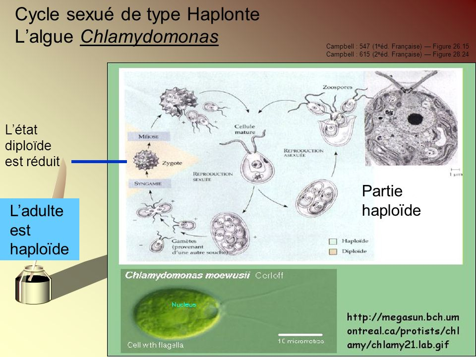 Cycle sexué de type Haplonte L'algue Chlamydomonas