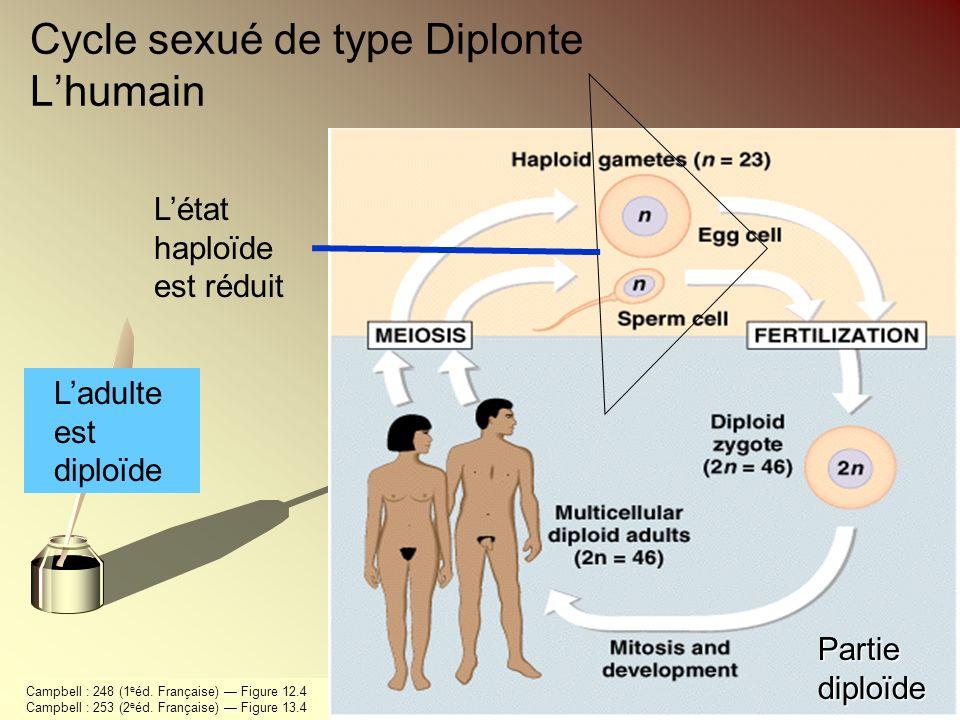 Cycle sexué de type Diplonte L'humain