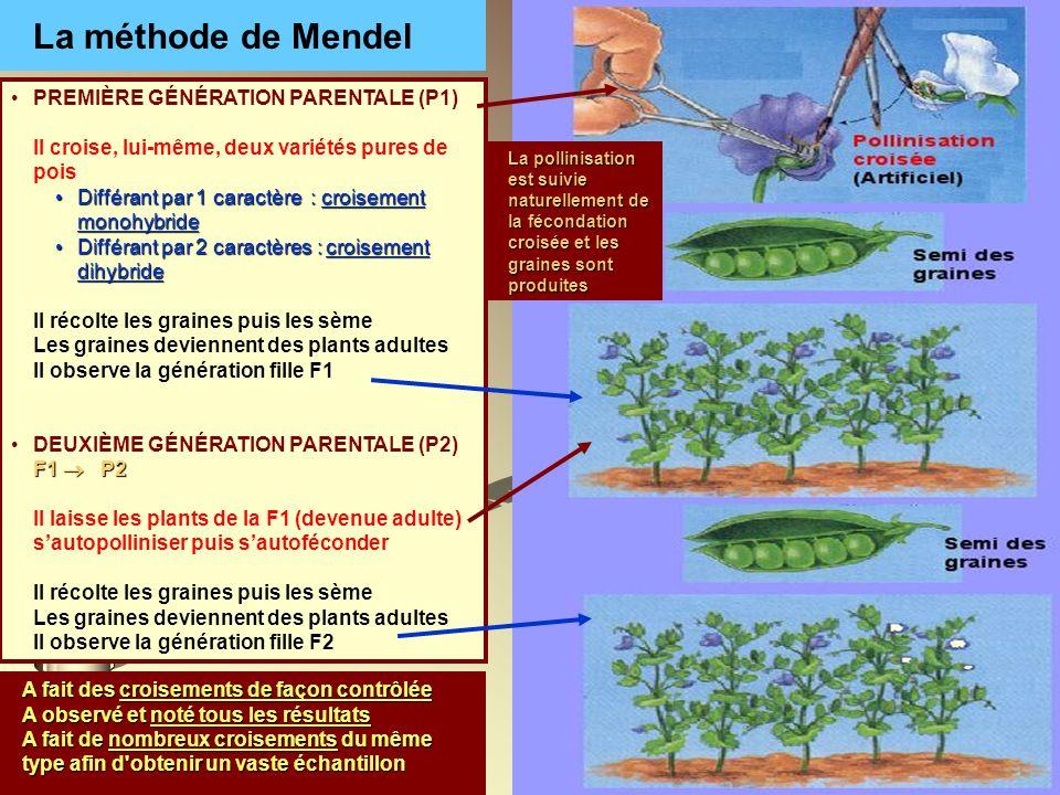 La méthode de Mendel PREMIÈRE GÉNÉRATION PARENTALE (P1)