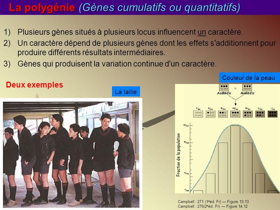 La polygénie (Gènes cumulatifs ou quantitatifs)