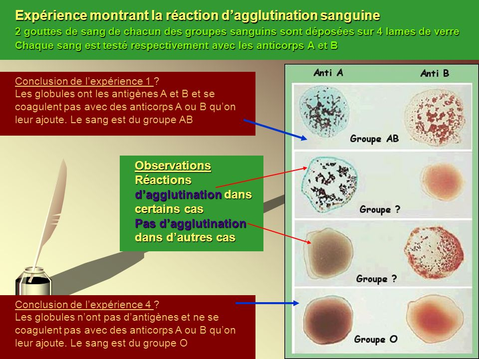 Expérience montrant la réaction d'agglutination sanguine 2 gouttes de sang de chacun des groupes sanguins sont déposées sur 4 lames de verre Chaque sang est testé respectivement avec les anticorps A et B