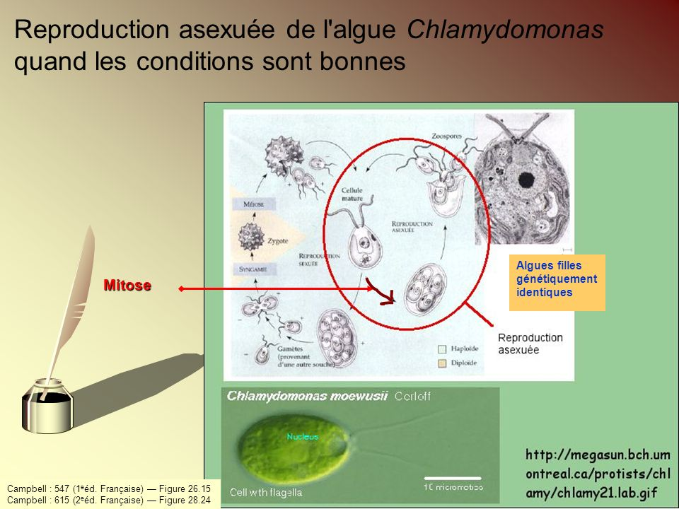 Reproduction asexuée de l algue Chlamydomonas quand les conditions sont bonnes