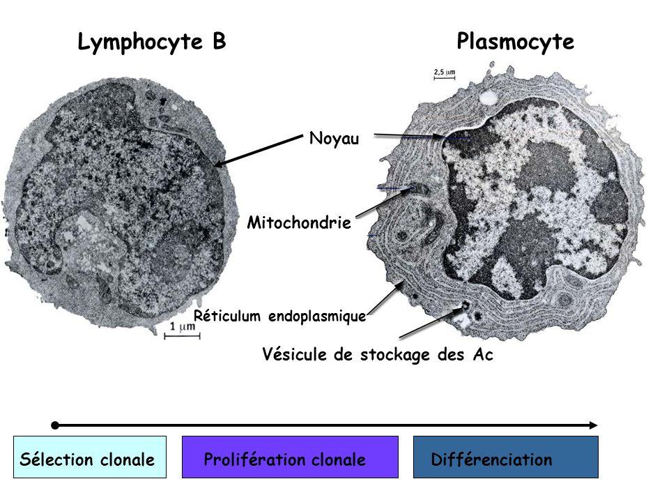 Lymphocyte B Plasmocyte Noyau Mitochondrie Vésicule de stockage des Ac