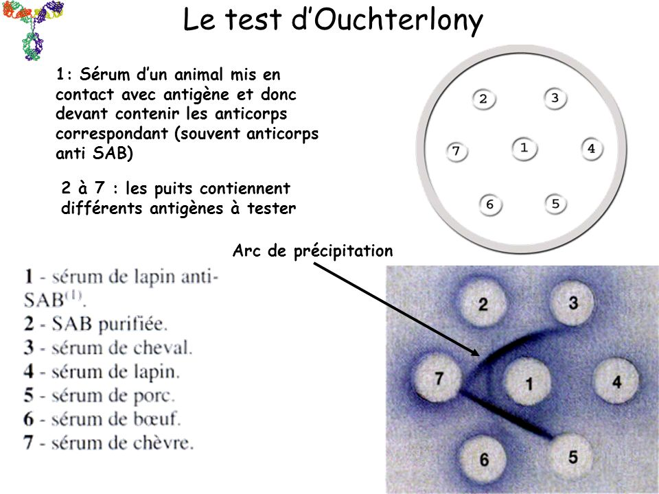 Le test d'Ouchterlony
