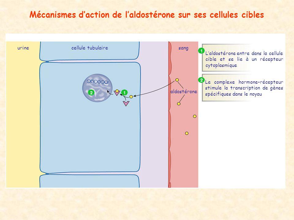 Mécanismes d'action de l'aldostérone sur ses cellules cibles