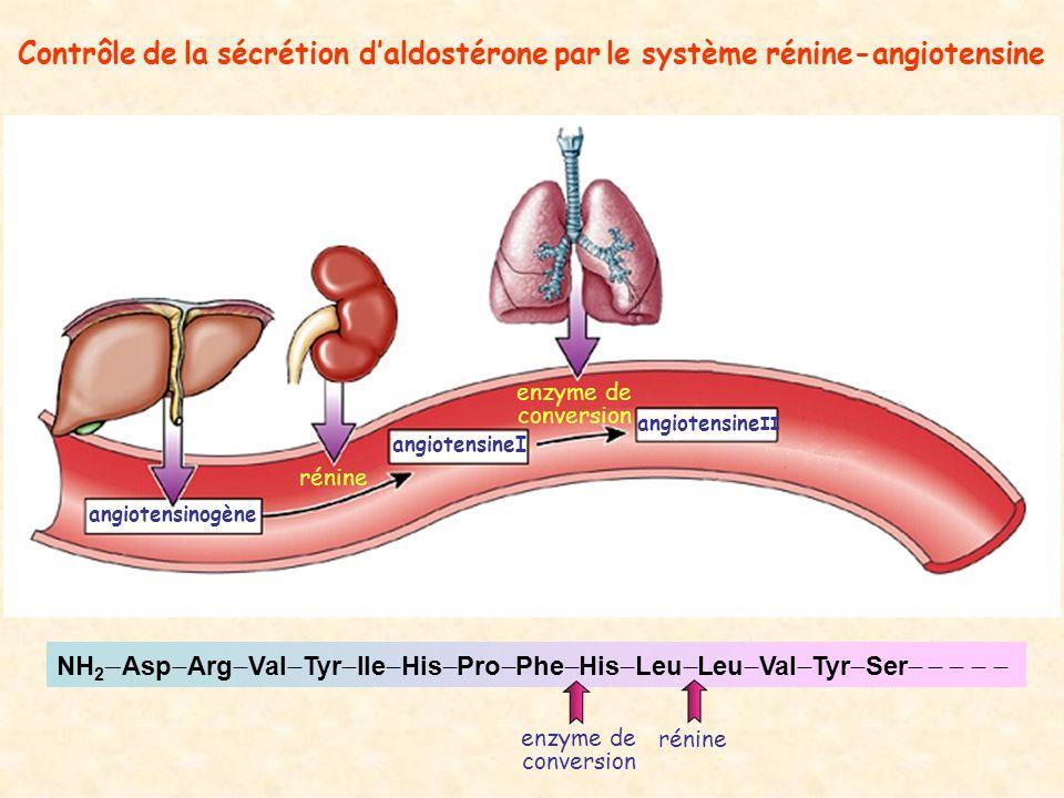 Contrôle de la sécrétion d'aldostérone par le système rénine-angiotensine