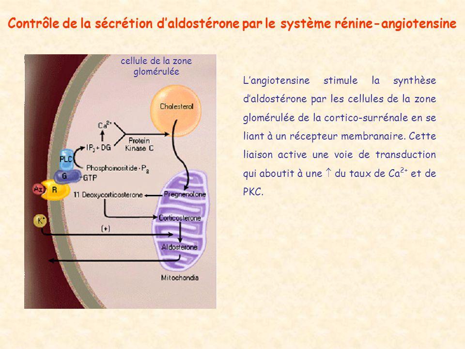 cellule de la zone glomérulée