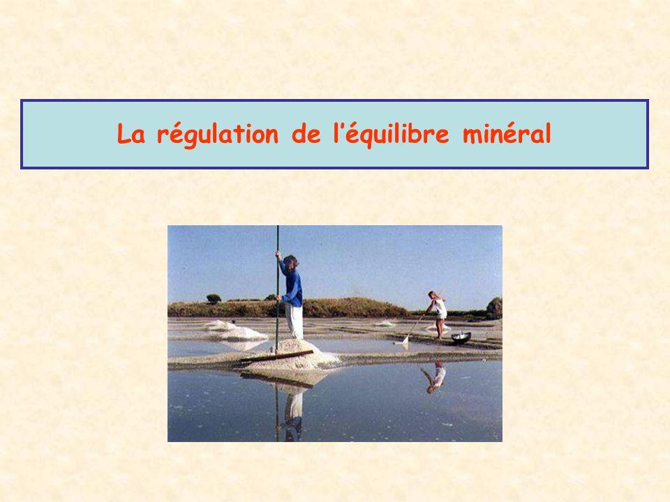 La régulation de l'équilibre minéral