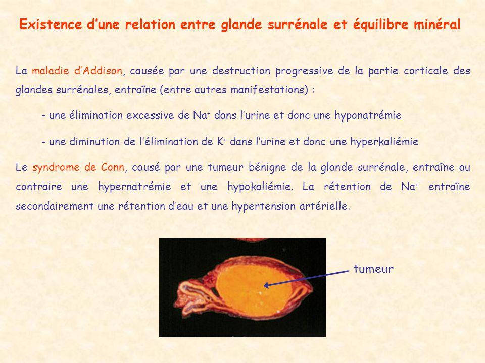 Existence d'une relation entre glande surrénale et équilibre minéral