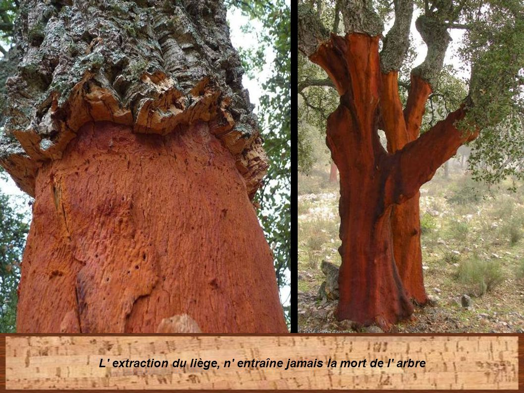 L extraction du liège, n entraîne jamais la mort de l arbre