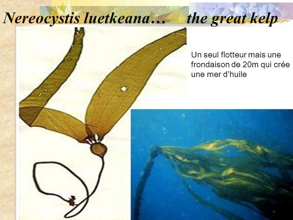 Nereocystis luetkeana… the great kelp