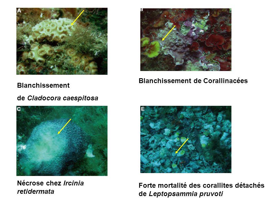 Blanchissement de Corallinacées