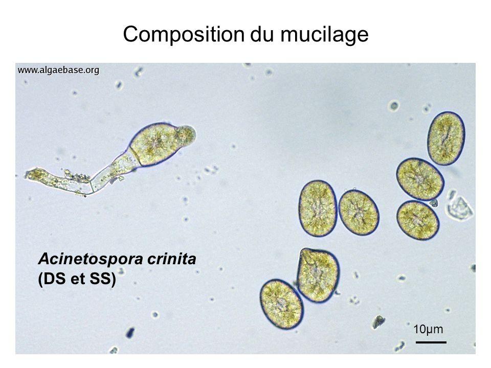 Composition du mucilage