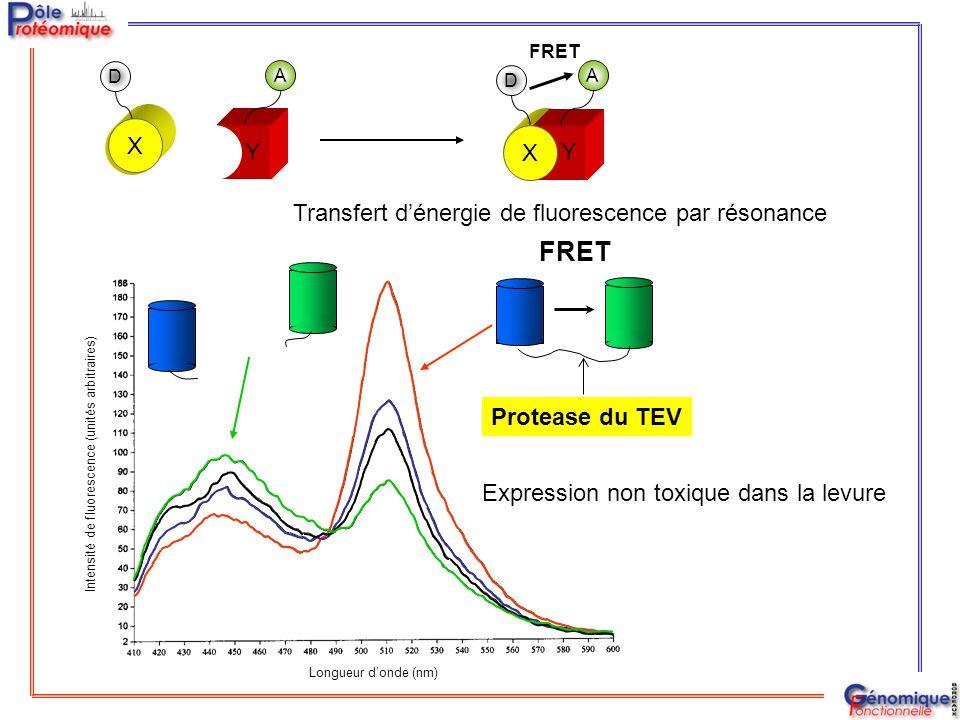 FRET Y X Transfert d'énergie de fluorescence par résonance