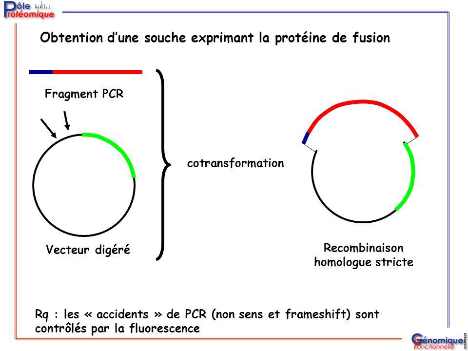 Obtention d'une souche exprimant la protéine de fusion