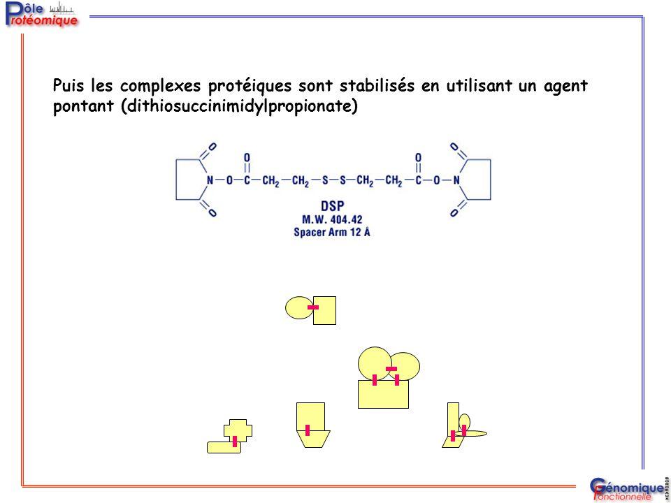 Puis les complexes protéiques sont stabilisés en utilisant un agent pontant (dithiosuccinimidylpropionate)